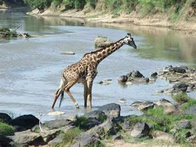 8 Days Mombasa Tsavo Amboseli Nakuru Maasai Mara Tour Packages