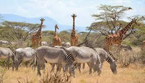 Grevy zebras and Reticulated Giraffes
